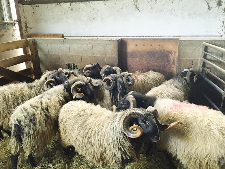 Béliers du Centre départemental d'élevage ovin d'Ordiap